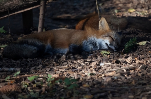 sleeping_fox_Babies Kopie
