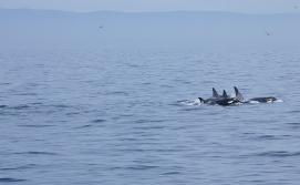 orca_family_MG_7208
