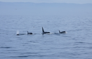 orca_race_MG_7203