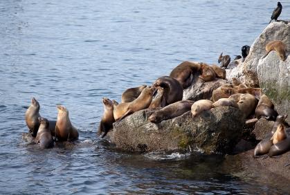 Sea_lions_MG_7160