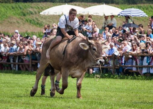 Ochsenrennen Steinkirchen Aßling Bayern
