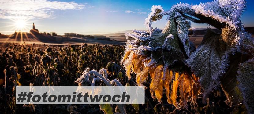 #fotomittwoch *045 – Sonneblume undFrost
